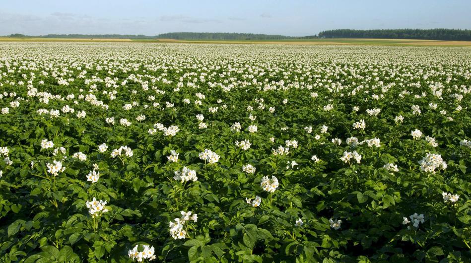 Irish potato growers urged to cut acreage - Hort News
