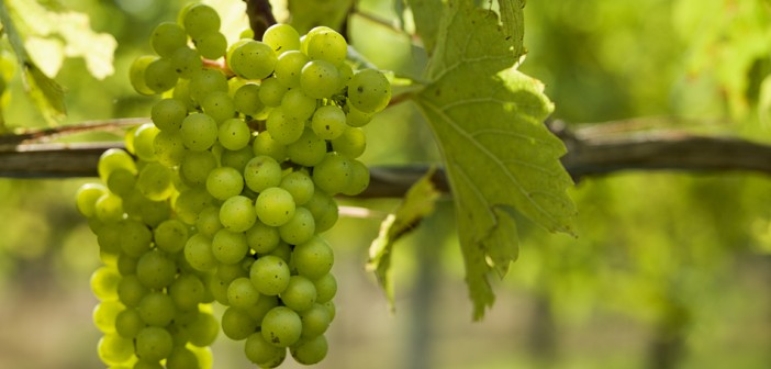 Weather shocks could threaten UK wine production