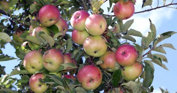 European apples can now be imported to India again
