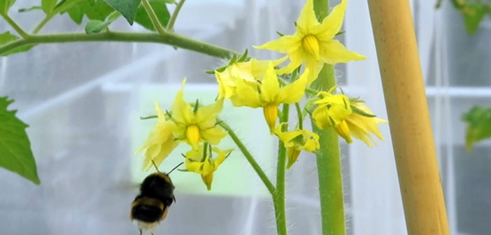 Tomatoes with virus attract bees