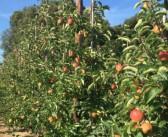 Sunshine is the core ingredient apple crop