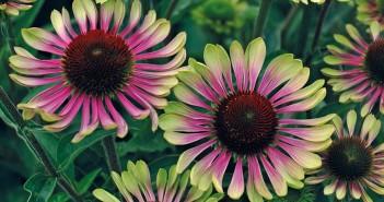 echinacea-purpurea-green-twister_gu15e