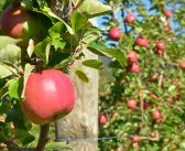 Mechanisation could be future for apple growers