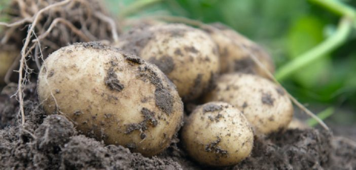 Bejo introduces its first true potato seed variety