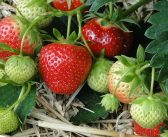 Strawberry genetics discovery could improve yields