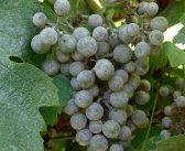 Sercadis has a new EAMU in grapevines