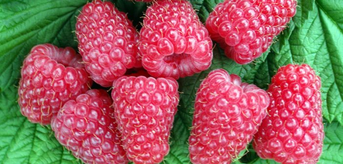 Exciting new varieties from summer fruiting raspberry trials