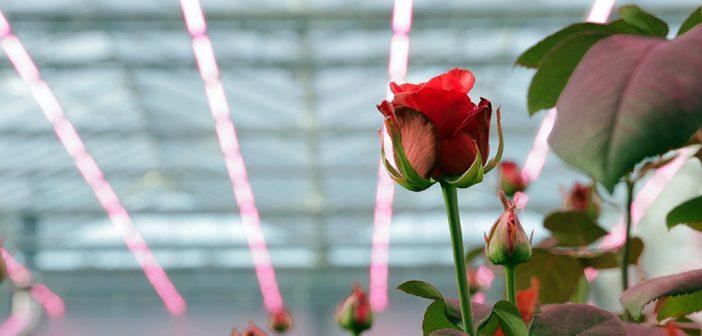 Philips Lighting issues LED recipe for roses