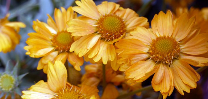 Two new plant varieties to be launched at this year's Chelsea Flower Show