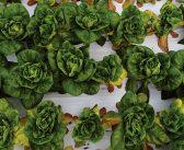 New cases of lettuce Fusarium wilt confirmed