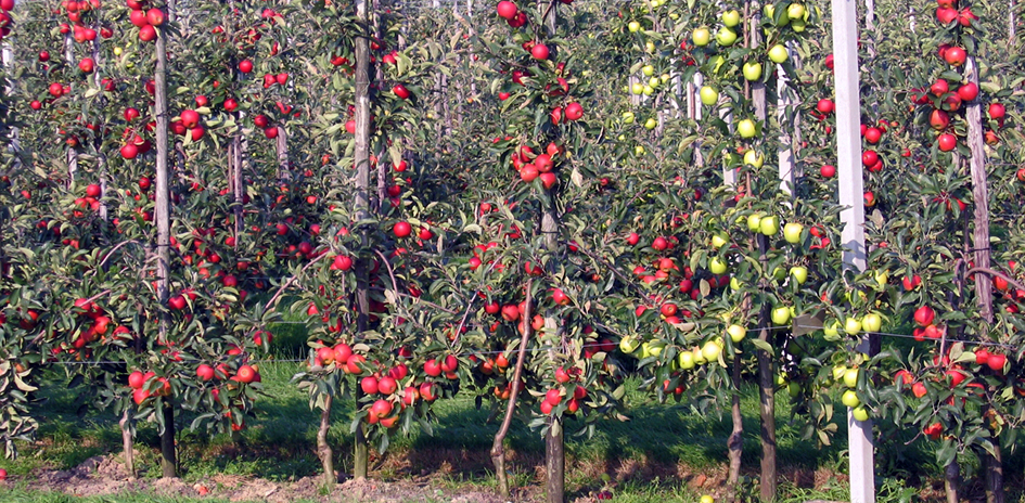 Climate Change Could Benefit UK Apple Production Hort News