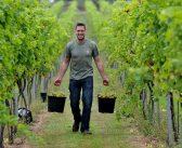 Students' vineyard celebrates record harvest