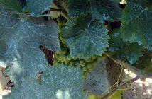 Viticulture - Hort News