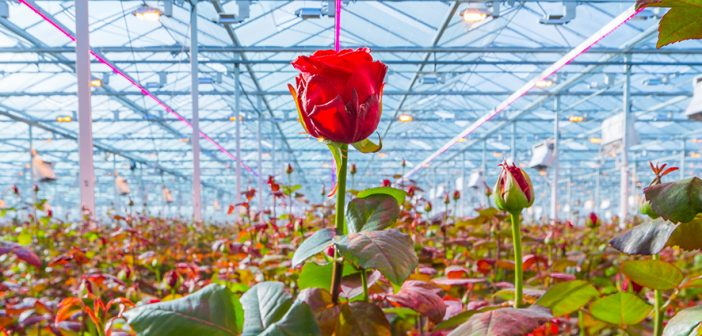 Signify expands trial at Porta Nova for Philips GreenPower LED toplighting with dedicated rose spectrum