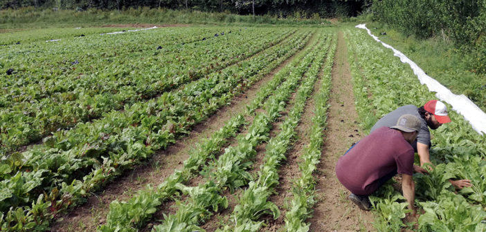 Hot water seed treatment boosts leafy greens crops