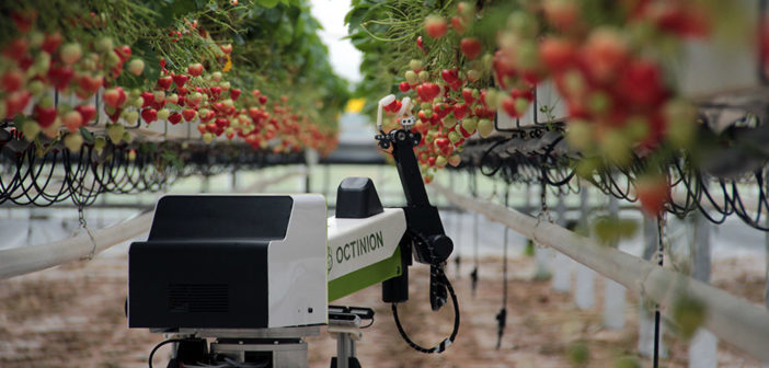 Strawberry-picking robots to gather enough fruit for Wimbledon in 1 week
