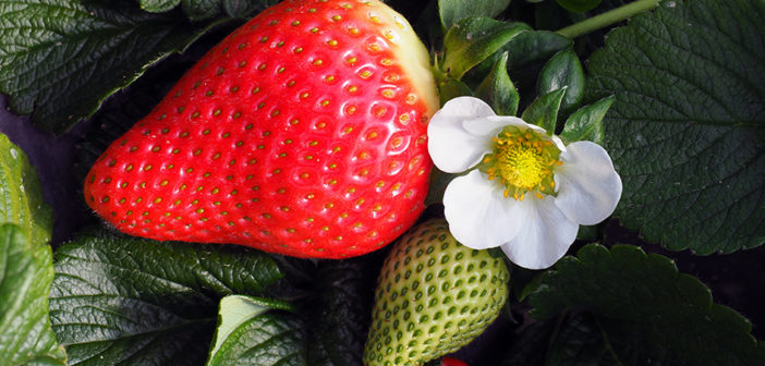 Mixing beneficial insects keeps thrips under control in strawberries