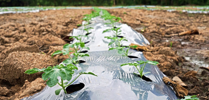 Growers to trial alternatives to plastic for veg production