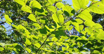 Environet develops eco-solution for Japanese knotweed waste
